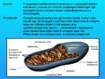 Третій Утворення симбіотичного комплексу з прокаріотичною клітиною, схожою на...