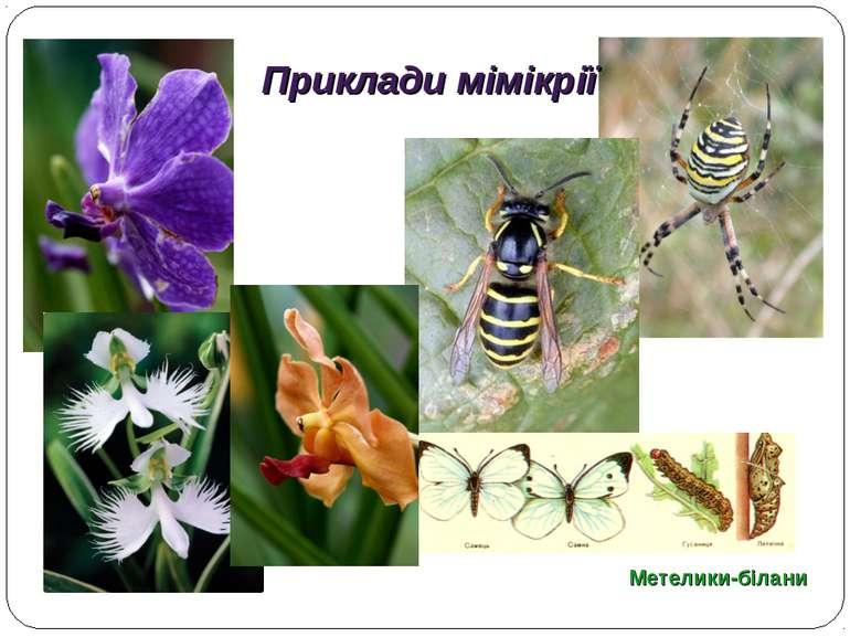 Метелики-білани Приклади мімікрії