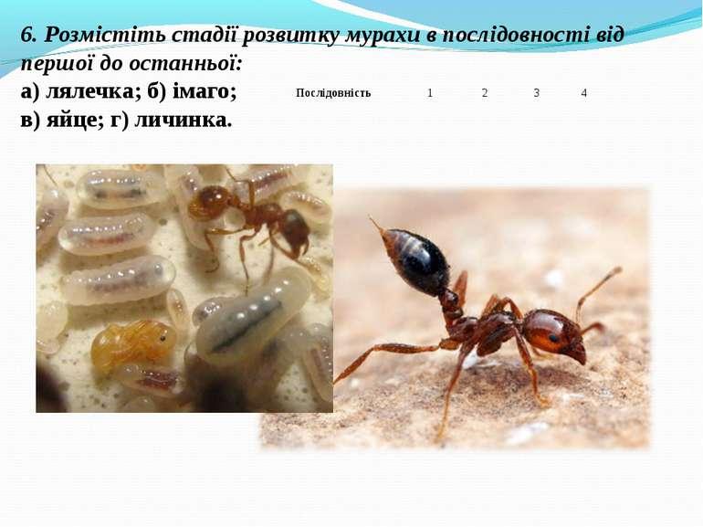 6. Розмістіть стадії розвитку мурахи в послідовності від першої до останньої:...