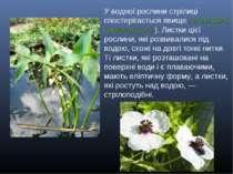 У водної рослини стрілиці спостерігається явище гетерофілії (різнолистості). ...