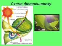 Схема фотосинтезу