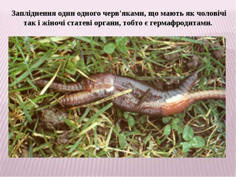 Запліднення один одного черв'яками, що мають як чоловічі так і жіночі статеві...