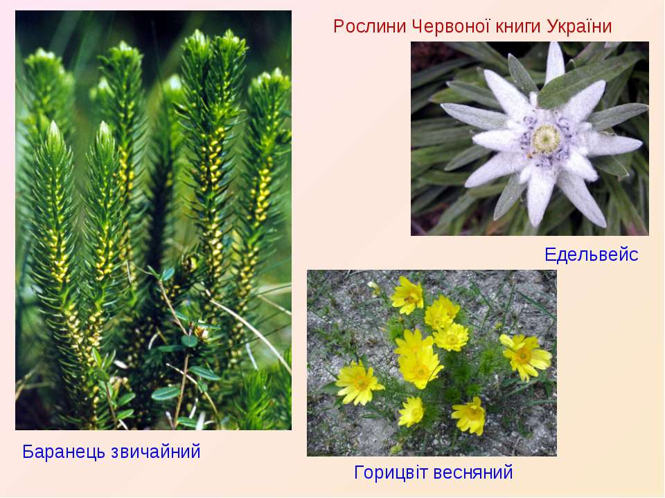 Рослини Червоної книги України Баранець звичайний Едельвейс Горицвіт весняний