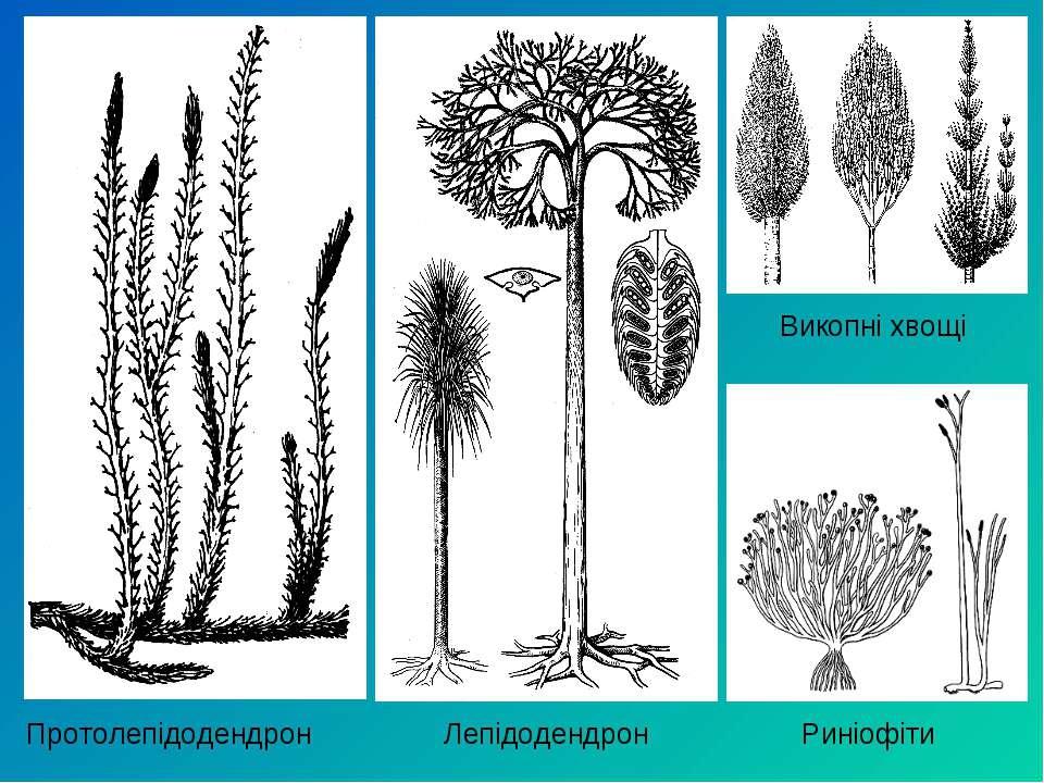 Викопні хвощі Протолепідодендрон Лепідодендрон Риніофіти