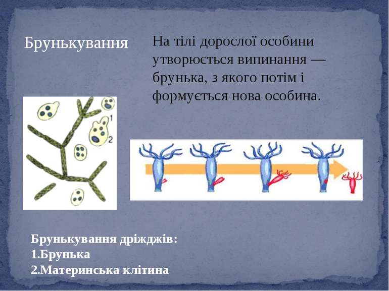 На тілі дорослої особини утворюється випинання — брунька, з якого потім і фор...