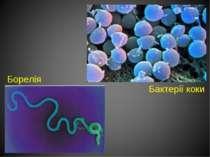 Борелія Бактерії коки