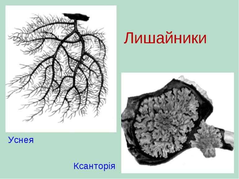 Уснея Ксанторія Лишайники