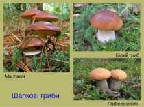 Шапкові гриби Маслюки Білий гриб Підберезовик