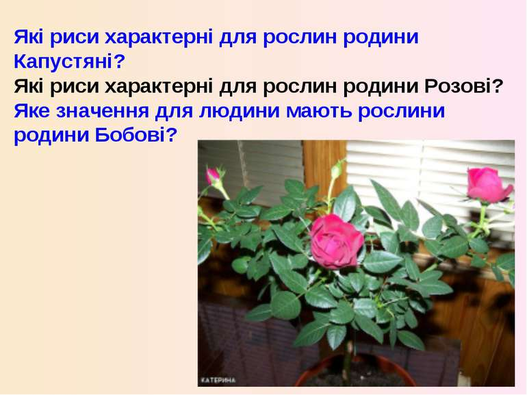 Які риси характерні для рослин родини Капустяні? Які риси характерні для росл...
