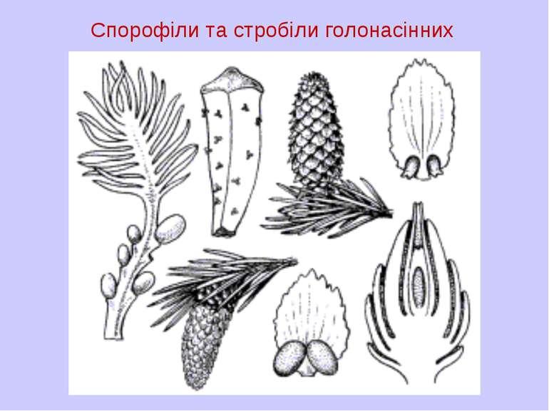 Спорофіли та стробіли голонасінних