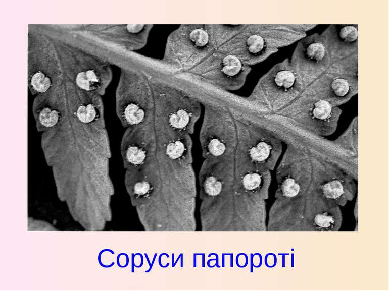 Соруси папороті