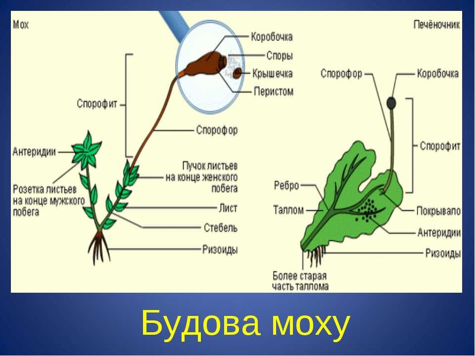 Будова моху