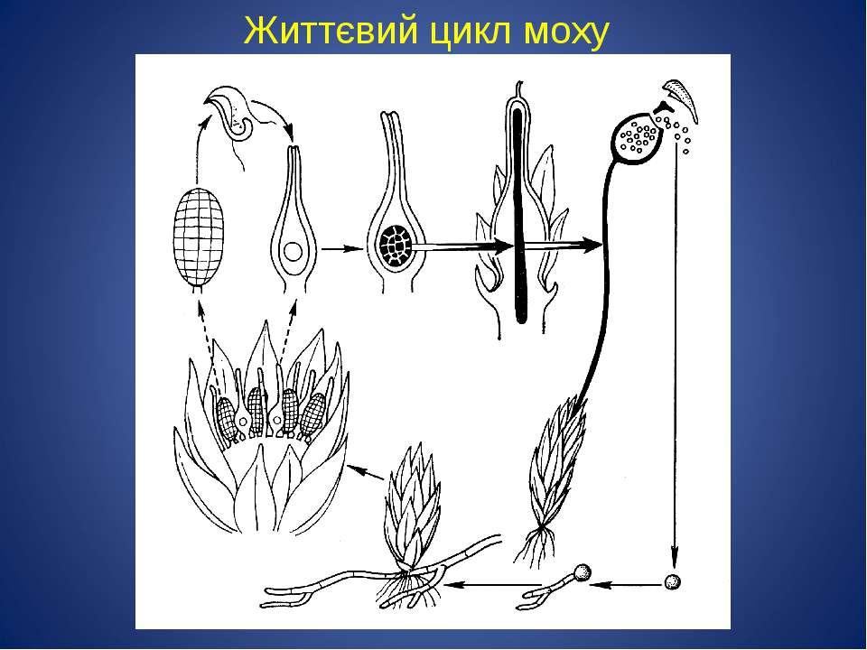 Життєвий цикл моху
