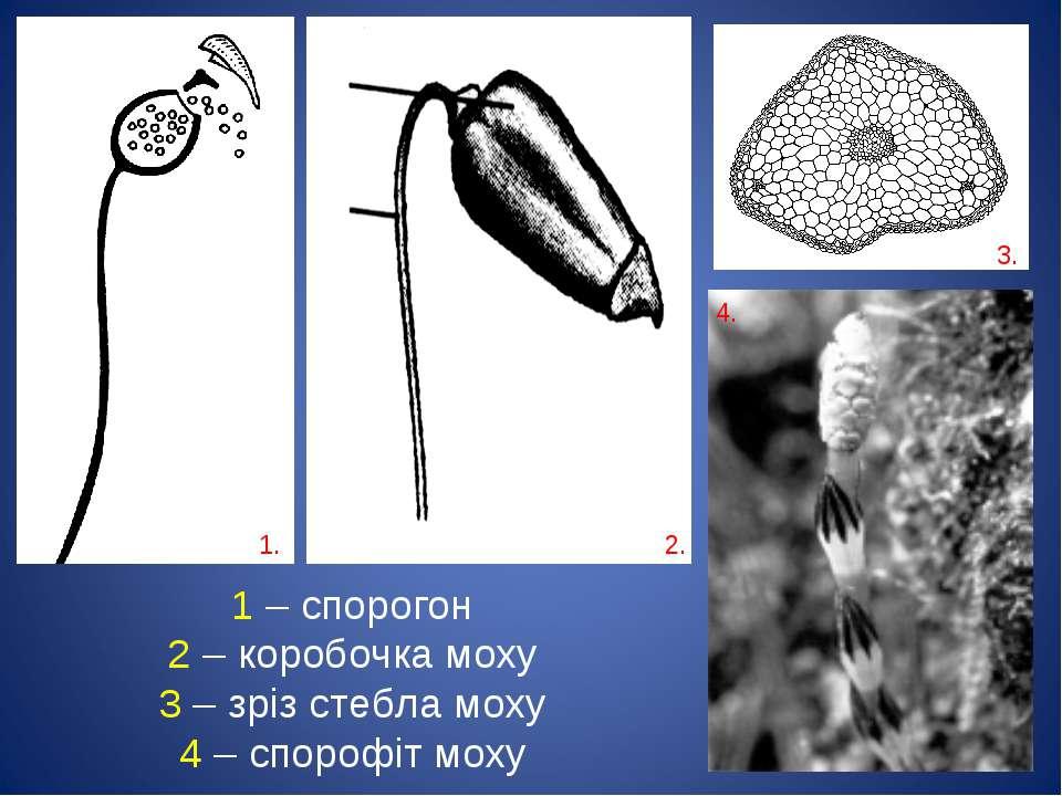 1. 2. 3. 4. 1 – спорогон 2 – коробочка моху 3 – зріз стебла моху 4 – спорофіт...