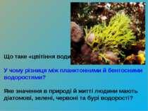 Що таке «цвітіння води»? У чому різниця між планктонними й бентосними водорос...