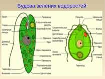 Будова зелених водоростей