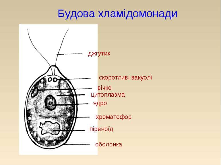 Будова хламідомонади джгутик скоротливі вакуолі вічко цитоплазма ядро хромато...
