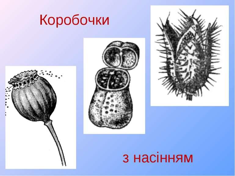 Коробочки з насінням