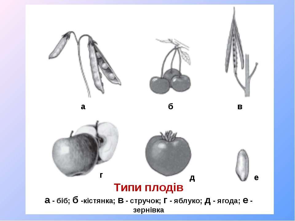 Типи плодів а - біб; б -кістянка; в - стручок; г - яблуко; д - ягода; е - зер...
