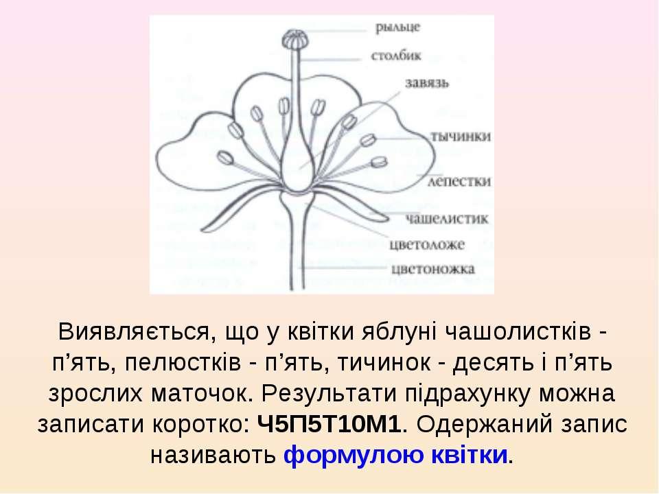 Виявляється, що у квітки яблуні чашолистків- п'ять, пелюстків- п'ять, тичин...