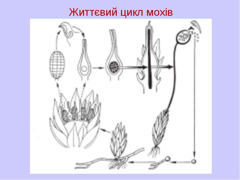 Життєвий цикл мохів