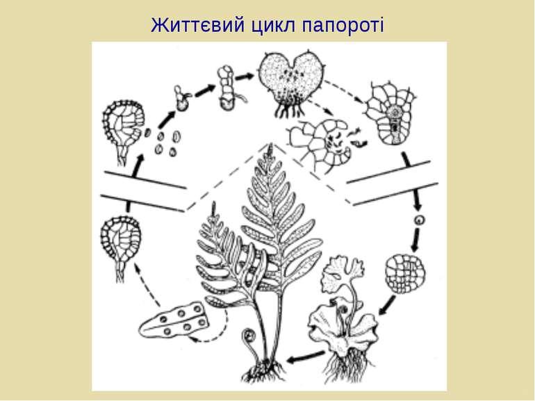 Життєвий цикл папороті