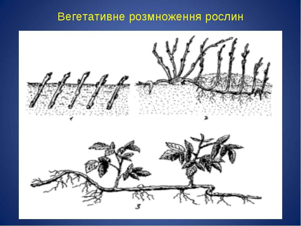 Вегетативне розмноження рослин