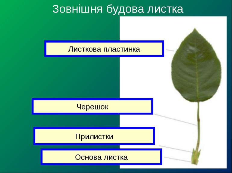 Зовнішня будова листка Листкова пластинка Черешок Прилистки Основа листка
