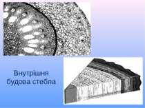 Внутрішня будова стебла