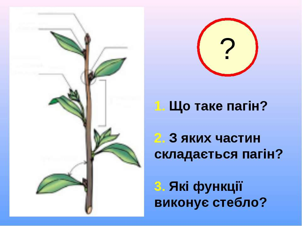 1. Що таке пагін? 2. З яких частин складається пагін? 3. Які функції виконує ...