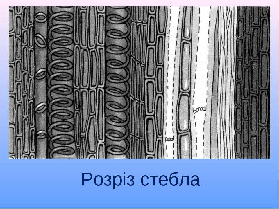 Розріз стебла