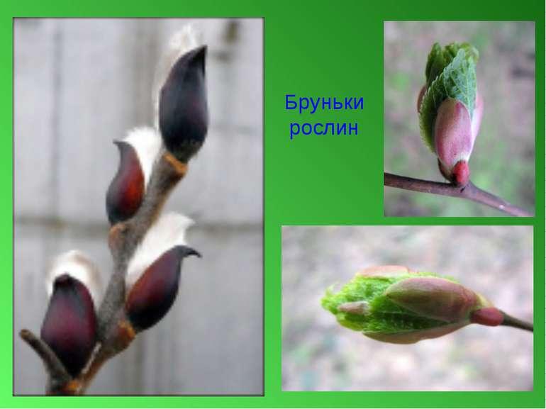 Бруньки рослин