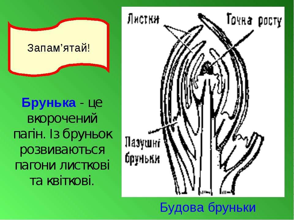 Брунька- це вкорочений пагін. Із бруньок розвиваються пагони листкові та кві...