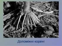 Допоміжні корені