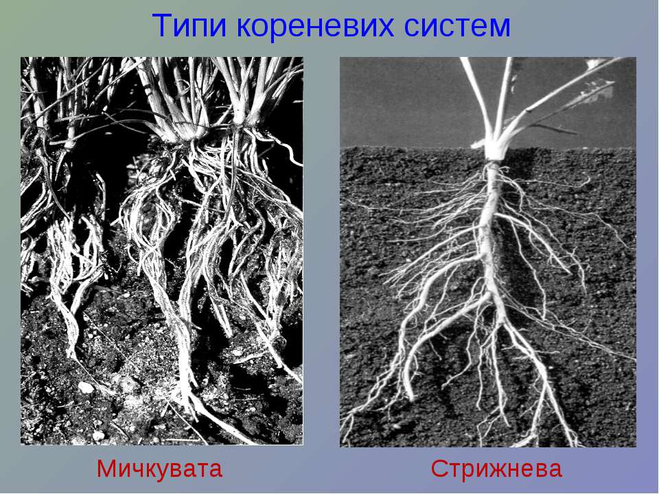 Типи кореневих систем Мичкувата Стрижнева