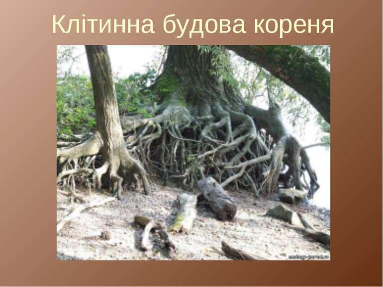 Клітинна будова кореня