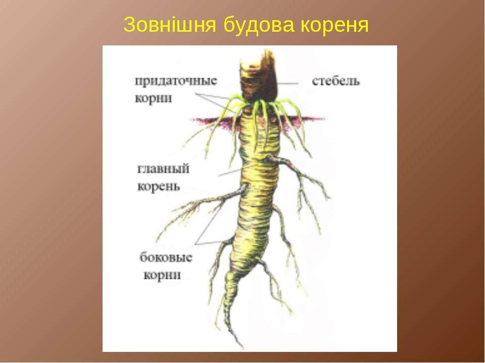 Зовнішня будова кореня