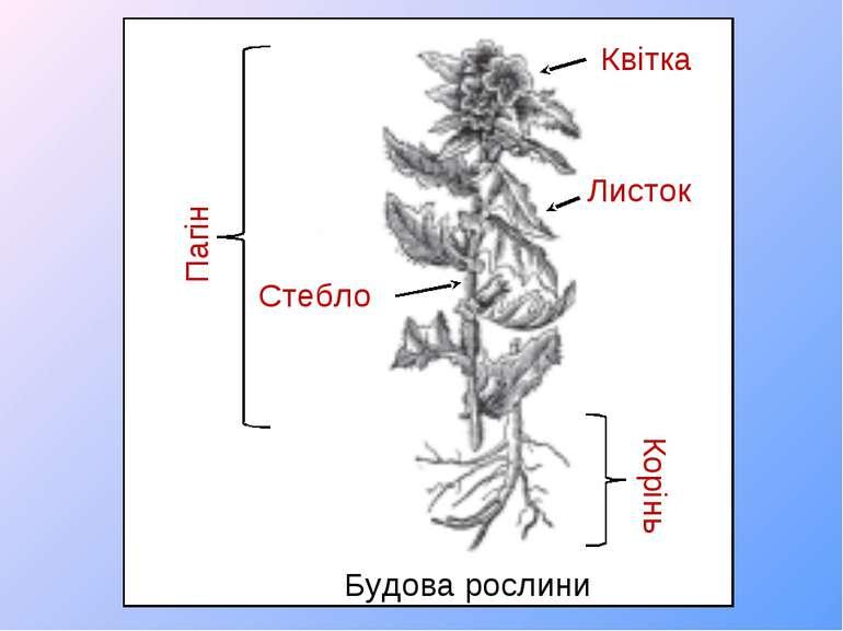Будова рослини Пагін Корінь Квітка Листок Стебло