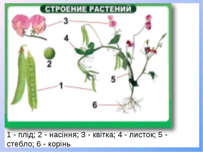 1 - плід; 2 - насіння; 3 - квітка; 4 - листок; 5 - стебло; 6 - корінь