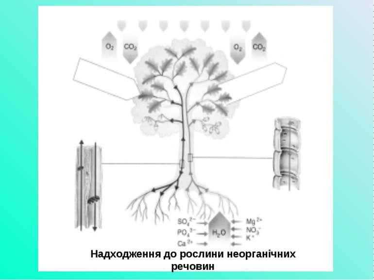 Надходження до рослини неорганічних речовин