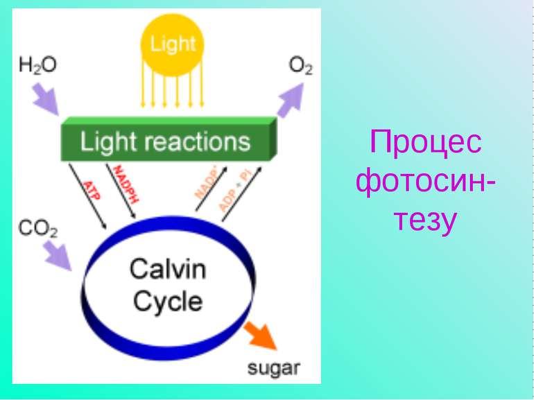 Процес фотосин-тезу