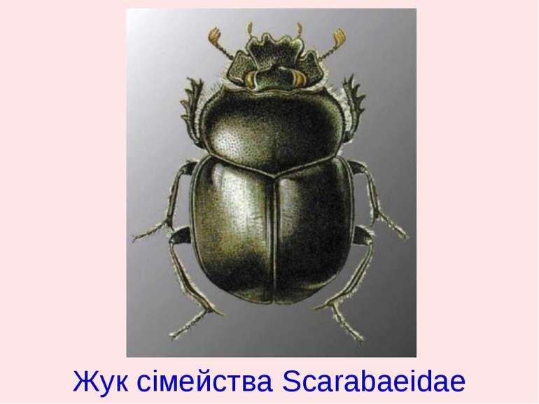 Жук сімейства Scarabaeidae