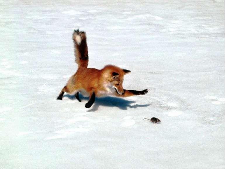 ЦІКАВЕ ПРО ЛИСИЦЮ Лисиця, хоч і належить до типових хижаків, харчується дуже ...