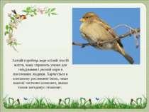 Хатній горобець веде осілий спосіб життя, чому сприяють умови для гніздування...
