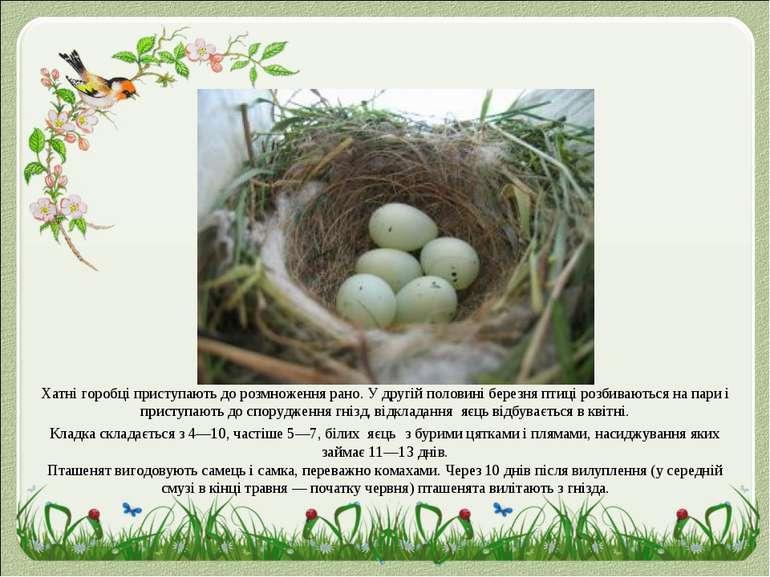 Хатні горобці приступають дорозмноженнярано. У другій половині березня птиц...