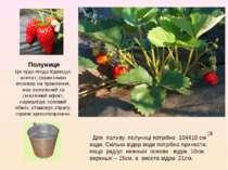Полуниця Ця чудо-ягода підвищує апетит, сприятливо впливає на травлення, має ...
