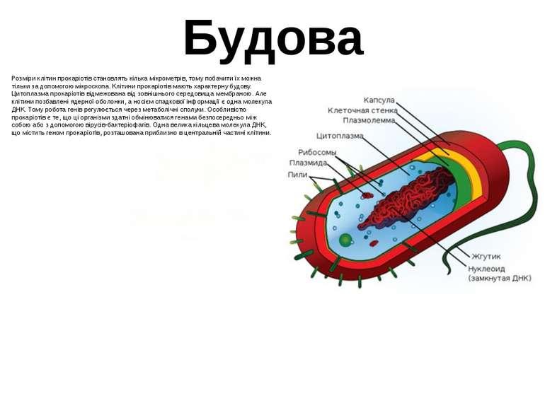 Будова Розміри клітин прокаріотів становлять кілька мікрометрів, тому побачит...