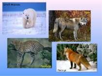Білий ведмідь Вовк Леопард Лисиця