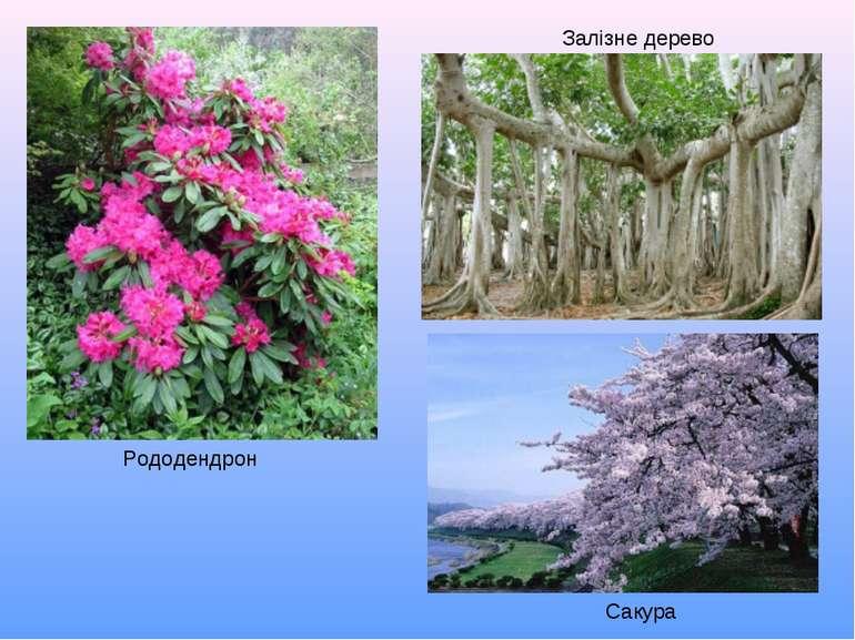 Рододендрон Залізне дерево Сакура