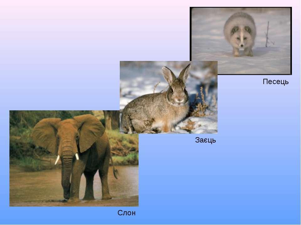 Песець Заєць Слон